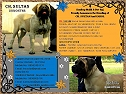 The house of show quality English Mastiff Puppies