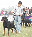 Rottweiler kennel India:Vom Carnivous kennel most experienced in showing and breeding