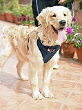 Mutt Of Course Organic Dark Denim Harness For Dogs- Large