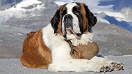 7 DOG BREEDS THAT ARE TOTAL GENTLE GIANTS
