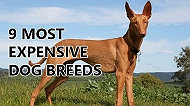 9 most expensive dog breeds in the world