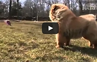 Know Your Breed- Chow Chow [Video]