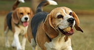 7 Reasons Why You Should Not Adopt A Beagle