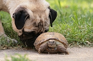 12 Reasons Why You Should NEVER EVER Own A PUG!