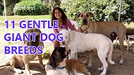 11 dog breeds that are truly the gentle giants
