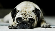8 dog breed groups as defined by AKC