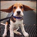 21 reasons why having a Beagle is the best thing ever