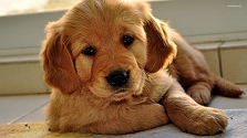 4 dog breeds that never lose their puppy..