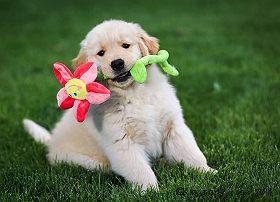 flair-the-golden-retriever-who-taught-me-the-meaning-of-true-love