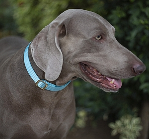Forfurs Adjustable Classic Dog Collar Cocktail Blue - Small