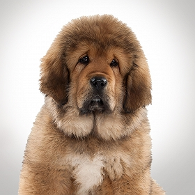 Captain Zack The Tibetan Mastiff Groom Box-Veg